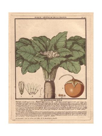 Male Mandrake Plant, Atropa Mandragora Or Mandragora Officinarum