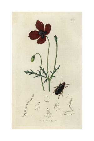 Harpalus Ruficeps, Harpalus Latus, Red-headed Harpalus Beetle