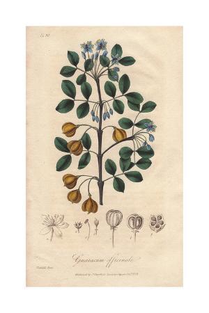Roughbark Lignum-vitae, Guaiacum Officinale (endangered)