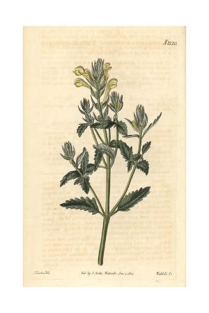 Yellow-flowered Skullcap, Scutellaria Orientalis