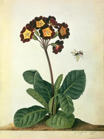Primulaecae: a Flowering Polyanthus with a Flying Insect, 1764