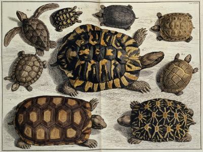 """Turtles: from Albert Seba's """"Locupletissimi Rerum Naturalium"""", C.1750"""