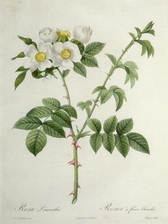 Rosa Leucantha, Engraved by Chapuy, Published by Remond