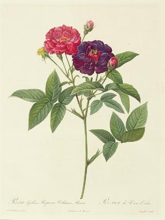 Rosa Gallica Purpurea Velutina, Parva