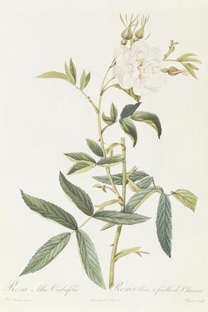 Rosa Alba Cimbaefolia