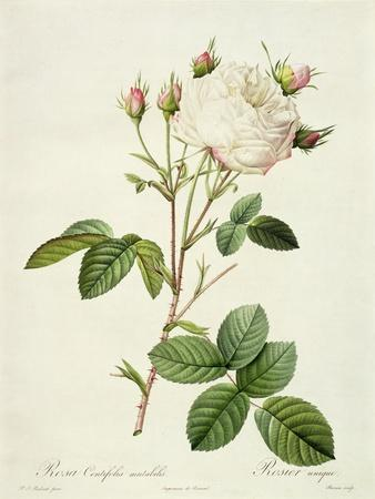 Rosa Centifolia Mutabilis, Engraved by Bessin, Published by Remond