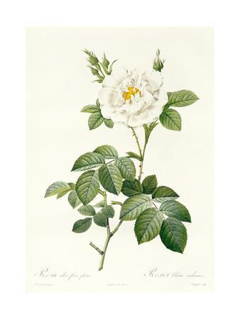Rosa Alba Flore Pleno