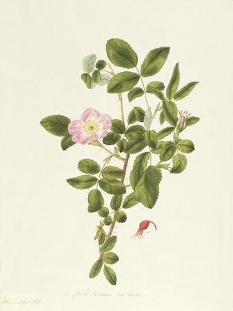 Rosa Acicularis Viridis