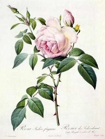 Rosa Indica Fragrans, Engraved by Langlois, Published by Remond