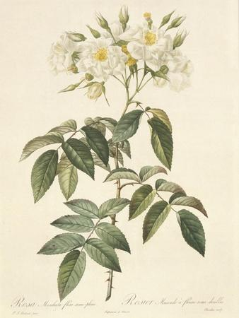 Rosa Moschata Flora Semi-Pleno