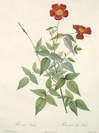 Rosa Indica, Engraved by Chapuy, from 'Les Roses', 1817-24