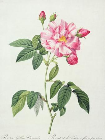 Rosa Gallica Versicolor (French Rose), Engraved by Langlois, from 'Les Roses', 1817-24