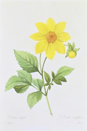 Dalea Simplex, Engraved by Bessin, from 'Choix Des Plus Belles Fleurs', 1827-33