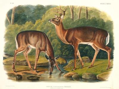 Cervus Virginianus (Common or Virginian Deer), Plate 136 from 'Quadrupeds of North America',…