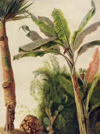 Banana Tree, C.1865