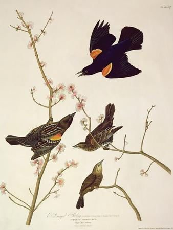 Red-Winged Starling, from 'Birds of America', Engraved by Robert Havell (1793-1878) Published 1820