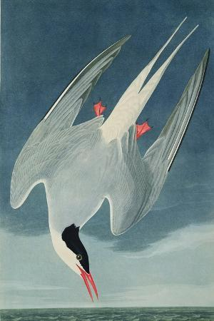 Arctic Tern, from 'Birds of America', Engraved by Robert Havell (1793-1878) Published 1835