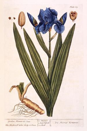 Iris, Plate 69 from 'A Curious Herbal', Published 1782