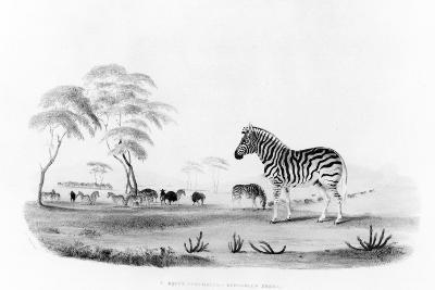 Equus Burchelli, or Burchell's Zebra, from 'Portraits of the Game and Wild Animals of Southern…