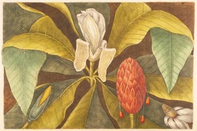 The Magnolia, Plate 68, Vol. 1 from the 'Natural History of Carolina, Florida and the Bahamas'