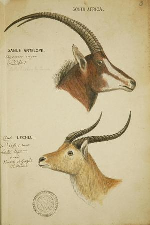 Two South African Antelope, C.1860