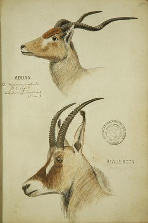 Addax and Blaue Bock, C.1863