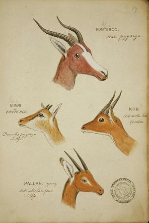 Seven Antelopes/Gazelles, C.1863