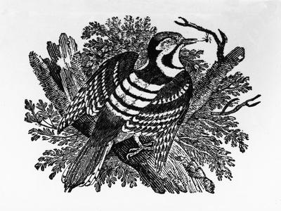 The Barred Woodpecker, Illustration from 'The History of British Birds' by Thomas Bewick, First…
