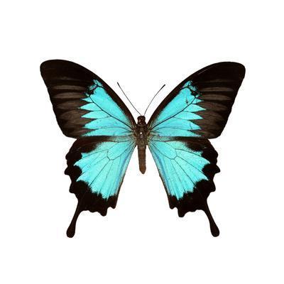 Papilio Montrouzieri Butterfly