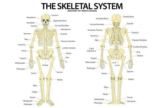 The Skeletal System Anterior Anatomy And Plastic Sign Plastic Sign