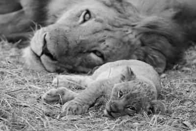 Cute Lion Cub Resting With Father