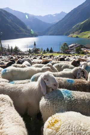 Sheep in the Alps Between South Tyrol, Italy, and North Tyrol, Austria