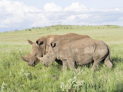 White Rhinoceros, Kenya