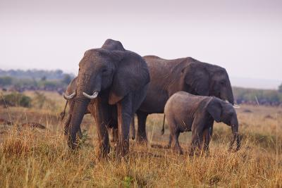 Elephant Family in Savannah, Maasai Mara Wildlife Reserve, Kenya