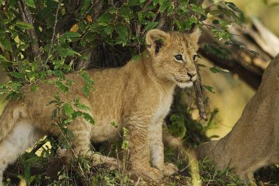 Lion Cub in the Bush, Maasai Mara Wildlife Reserve, Kenya