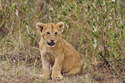 Lion Cub, Maasai Mara Wildlife Reserve, Kenya