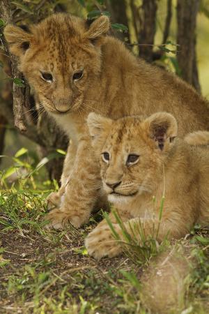Lion Cubs in the Bush, Maasai Mara Wildlife Reserve, Kenya