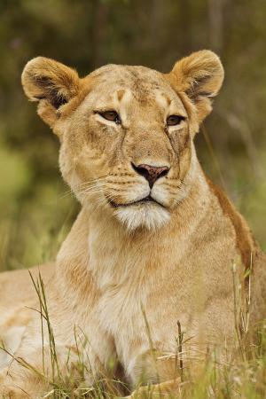Lioness Up Close, Maasai Mara Wildlife Reserve, Kenya