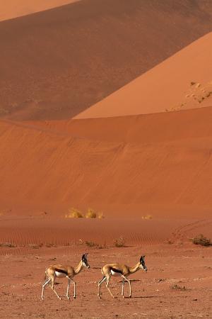 Springbok, Near Sossusvlei, Namib-Naukluft National Park, Namibia
