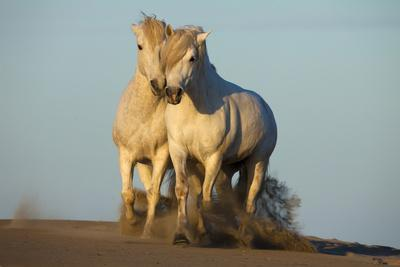 Two White Camargue Horses Trotting in Sand, Provence, France