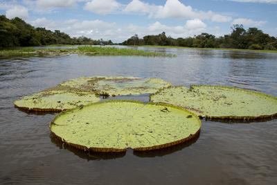 Giant Amazon Lily Pads, Valeria River, Boca Da Valeria, Amazon, Brazil