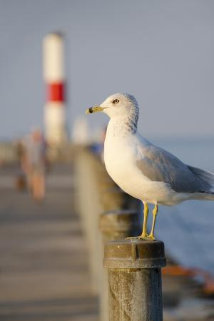 Seagull at the Lake Ontario Pier, Rochester, New York, USA