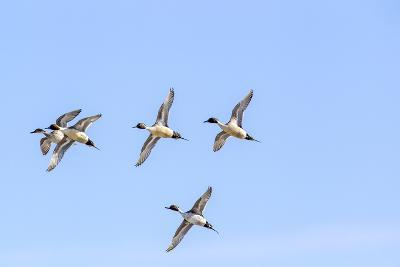 Northern Pintail Ducks in Courtship Flight, Montana, USA