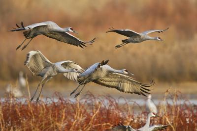 Sandhill Cranes Landing, Bosque Del Apache NWR, New Mexico, USA