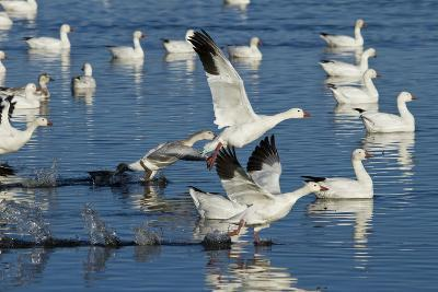 Snow Geese Taking Off, Bosque Del Apache NWR, New Mexico, USA