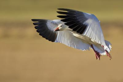 Snow Goose Landing, Bosque Del Apache NWR, New Mexico, USA