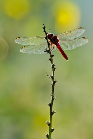 Roseate Skimmer Dragonfly Resting on Perch, Texas, USA
