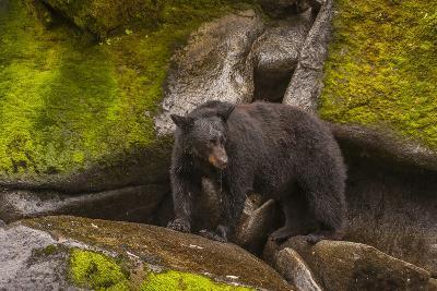 Black Bear Standing on Boulders, Tongass National Forest Alaska, USA