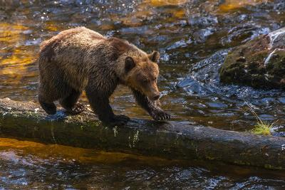 Grizzly Bear Watching for Salmon, Tongass National Forest Alaska, USA