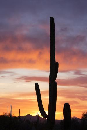 Saguaro Forest at Sunset, Saguaro National Park, Arizona, USA